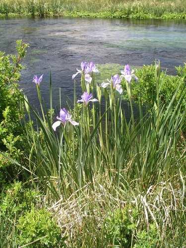 Wild-Iris.jpg